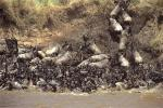 Greatest wildlife and bird spectacle in Kenyas wild of choices!